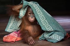 Orangutan orphans: Drying off  Peek-a-boo