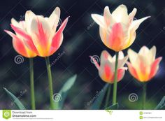 Sunlit Soft Focus Pink And White Marilyn Tulips - Download From Over 36 Million High Quality Stock Photos, Images, Vectors. Sign up for FREE today. Image: 41391851
