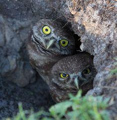 Peek-a-boo - Curious Burrowing Owlet.FL.