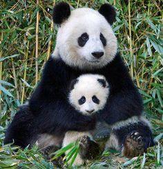 mama and baby panda