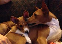 Parent and child. Basenji Dogs, Dog Stroller, Yorkshire Terrier Puppies, Toy Puppies, Hunting Dogs, Shelter Dogs, Dog Owners, Animal Pictures, Pets
