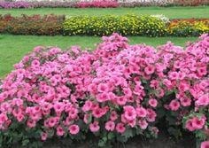 Цветы Лаватера - клумба без хлопот Bougainvillea, Landscape, Flowers, Plants, Outdoor, Gardening, Outdoors, Scenery, Lawn And Garden