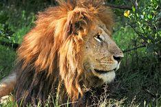 The Big Five in Kenya #lion #animals