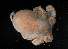Photos: Orange Octopus, More Creatures Found Deep in Antarctic Sea | National Geographic