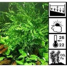 Samambaia Bolbitis Heudelotii - Plantas Aquáticas