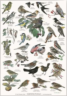 poster with motifs of garden birds. Illustrated by artist Carl Christian Tofte. New nordic design with more languages: danish - norwegian - swedish - english and latin. The titel of the poster is in english. New Nordic, Bird Poster, Old Oak Tree, Nature Posters, Humming Bird Feeders, Learn Art, Animal Posters, Georges Braque, Bird Pictures