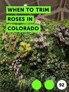 When to Trim Roses in Colorado. Colorado's dry climate and harsh winters are hard on roses, but with proper plant selection and care, you can have a thriving rose garden. Prune roses in late spring, as new green growth emerges, so you can clearly see what plant material is dead or damaged. Discard pruned plant material in the trash to avoid the... Lily Care, Zucchini Plants, Yellow Zucchini, Chlorophytum, Cattleya Orchid, Asiatic Lilies, Clove Oil, Earthworms, Queen