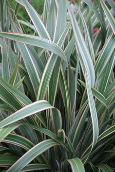 Buy New Zealand flax Phormium cookianum subsp. hookeri Tricolor: Delivery by Waitrose Garden in association with Crocus - Gardening Pacer Small Front Gardens, Back Gardens, Tropical Garden, Tropical Plants, Plants Sunny, Garden Shrubs, Garden Plants, Garden Landscaping, New Zealand Flax