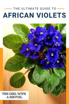 Keep your african violets alive and blooming with these awesome african violet plant care tips! Don't ever wonder what your plant needs! Learn how to keep them alive here! Best Indoor Plants, Air Plants, Violet Plant, All About Plants, Apartment Plants, African Violet, Bedroom Plants, Plant Needs, Violets