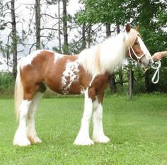 Feathered Gold Red Velvet. Gypsy Vanner horse