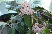 Wax Plant/ Porcelain Flower - Hoya carnosa: bright light