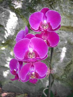 Phalaenopsis Long Pride Diane 'M-P0241' | Flickr - Photo Sharing!