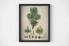 Vintage Winter wall art Antique botanical print Cedar pine
