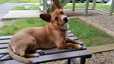 My corgi cattle dog mix. Love her so much
