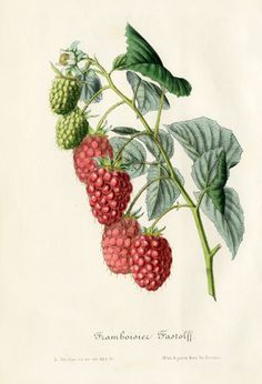 Louis van Houtte Flore des Serres Single-sized Prints 1858 Vintage Botanical Prints, Botanical Drawings, Antique Prints, Botanical Art, Vintage Prints, Illustration Blume, Nature Illustration, Raspberry Plants, Vegetable Illustration