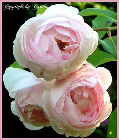 HERITAGE -- English rose by David Austin - this was the first David Austin I planted years ago...it is beautiful and has an intoxicating fragrance.