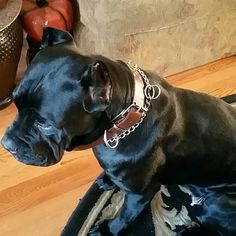 Cane Corso:).  I mean, brown spike collar! 4Sale New with tags brown spike collar, not sure how much my bro wants to sell for,  I will update ASAP im sorry Other