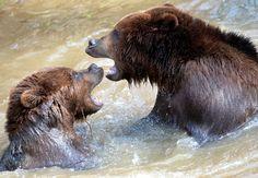 Deux grizzly jouent dans l'eau au zoo de La Flèche.