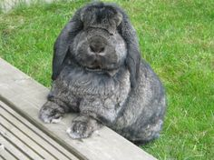 Images For > French Lop Rabbit Brown And White