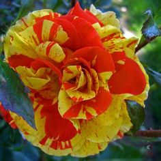 Oranges and Lemons Rose by Becque Mae, via Flickr