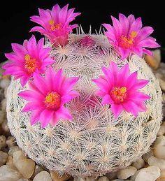 Mammillaria humboldtii by jocelyn