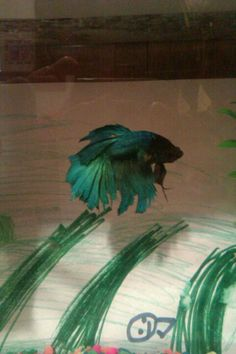 My beta fish