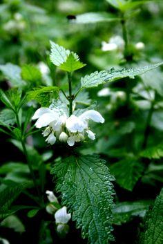 Weiße Taubnessel  - Lamium album  -   alte Heilpflanze. Die einzige weißblütige und mehrjährige Taubnessel