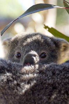 Koalas are marsupials (related to kangaroos), so they have pouches where the tiny newborns develop. A mother koala usually gives birth to one joey at a time, and the newborn is around the size of a jelly bean.