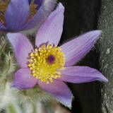 "Pasque flower (Pulsatilla vulgaris) ""Easter flower"" Type: Herbaceous perennial  Family: Ranunculaceae  Zone: 4 to 8  Native Range: Great Britain and western France to Sweden, eastward to Ukraine  Garden Location: Suzanne Stagg Wright Rock Garden  Height: 0.75 to 1 feet  Spread: 0.75 to 1 feet  Bloom Time: April to May  Bloom Description: Pale or dark violet, rarely white  Sun: Full sun to part shade  Water: Medium  Maintenance: Low  Flowers: Showy Flowers  Fruit: Showy Fruit  Tolerates…"