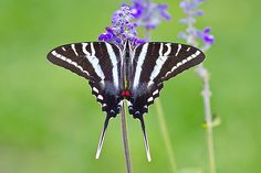 Butterfly Collection   John Koerner's Official Blog