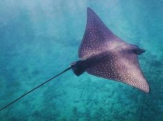 Spotted Eagle Ray, Pretty Fish, Underwater Creatures, Deep Blue Sea, Great Barrier Reef, Heron, Marine Life, Tattoo Inspiration, Cute Animals