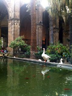 Barcelona Cathedral (La Seu), with geese Gothic Cathedral, Swans, Spain Travel, Vacation Spots, Ducks, Barcelona Cathedral, Places To See, To Go, France
