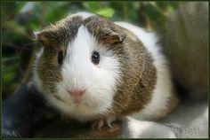 ~meet my little pig...betty white...~, via Flickr.