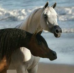 Black and Grey Arabian