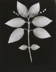 howbizarro: William Henry Fox Talbot: Botanical Specimen, 1839. Photogenic drawing.