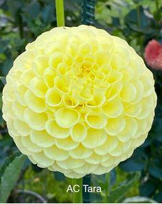 Dahlia Flowers, Flowers Nature, Beautiful Flowers, Flower Art, Android, Fruit, Color, Fashion, Recipes For Diabetics