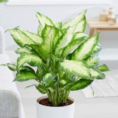 There are many plant species nowadays that can survive in the dark lighting conditions. Let's learn more about the best houseplants for low light. Buy Indoor Plants, Indoor Plants Low Light, Indoor Gardening, Feng Shui, Low Maintenance Indoor Plants, Easy House Plants, Iron Plant, Inside Plants, Creta