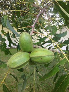 Pecan Tree - Louisiana