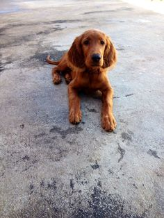 Irish Setter Pup ~ Classic Look ~ Southern Redheads Farm & Kennel