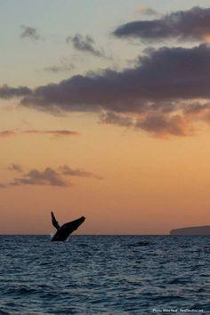 Beautiful humpback whale photo at sunset on Maui!