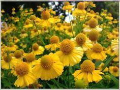 Beautiful Blooms 161 (Lost Horizon)