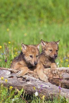 Wolf Pups by John Pitcher