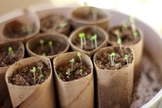 An easy way to start your seeds indoors is to use toilet paper or paper towel rolls. There are two advantages of using toilet paper rolls. Starting A Garden, Seed Starting, Vegetable Garden, Garden Plants, Herb Garden, Garden Kids, Garden Soil, Toilet Paper Roll Crafts, Toilet Paper Rolls