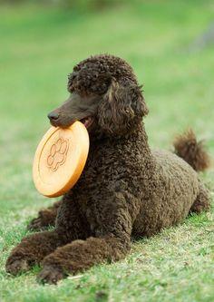 Airedale Terrier, Bull Terriers, Rottweiler, Black Standard Poodle, Standard Poodles, Poodle Haircut Styles, Red Poodles, French Poodles, Poodle Cuts