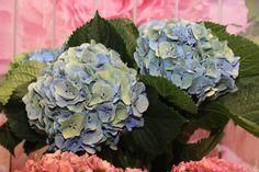 #Hydrangea #Hortensia #MargaritaBlue; Available at www.barendsen.nl