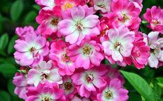 Обои фото, Крупным планом, Цветы, Цветущие деревья