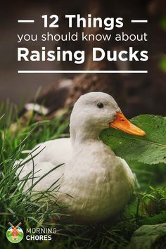 Raising ducks is different to raising chickens, but most people assume they& the same. Read these 12 things first before getting your first ducks. Keeping Ducks, Keeping Chickens, Raising Chickens, Chicken Coop Plans, Building A Chicken Coop, Chicken Coops, Chicken Plucker, Chicken Tractors, Chicken Breeds