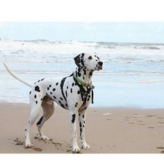 Beautiful Levi enjoying the beach! Credit to @emmamouley by dalmatians_of_instagram #lacyandpaws