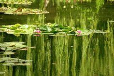 nymphéas et saule en reflet à Giverny