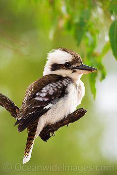 Cuddling kookaburra, Australia